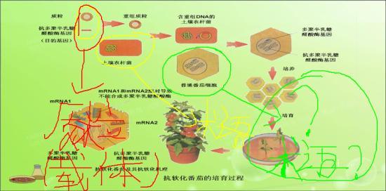 西红柿细胞结构图