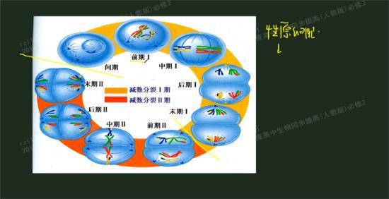 动物细胞中心体发出星射线,中心体是低等动_高一生物